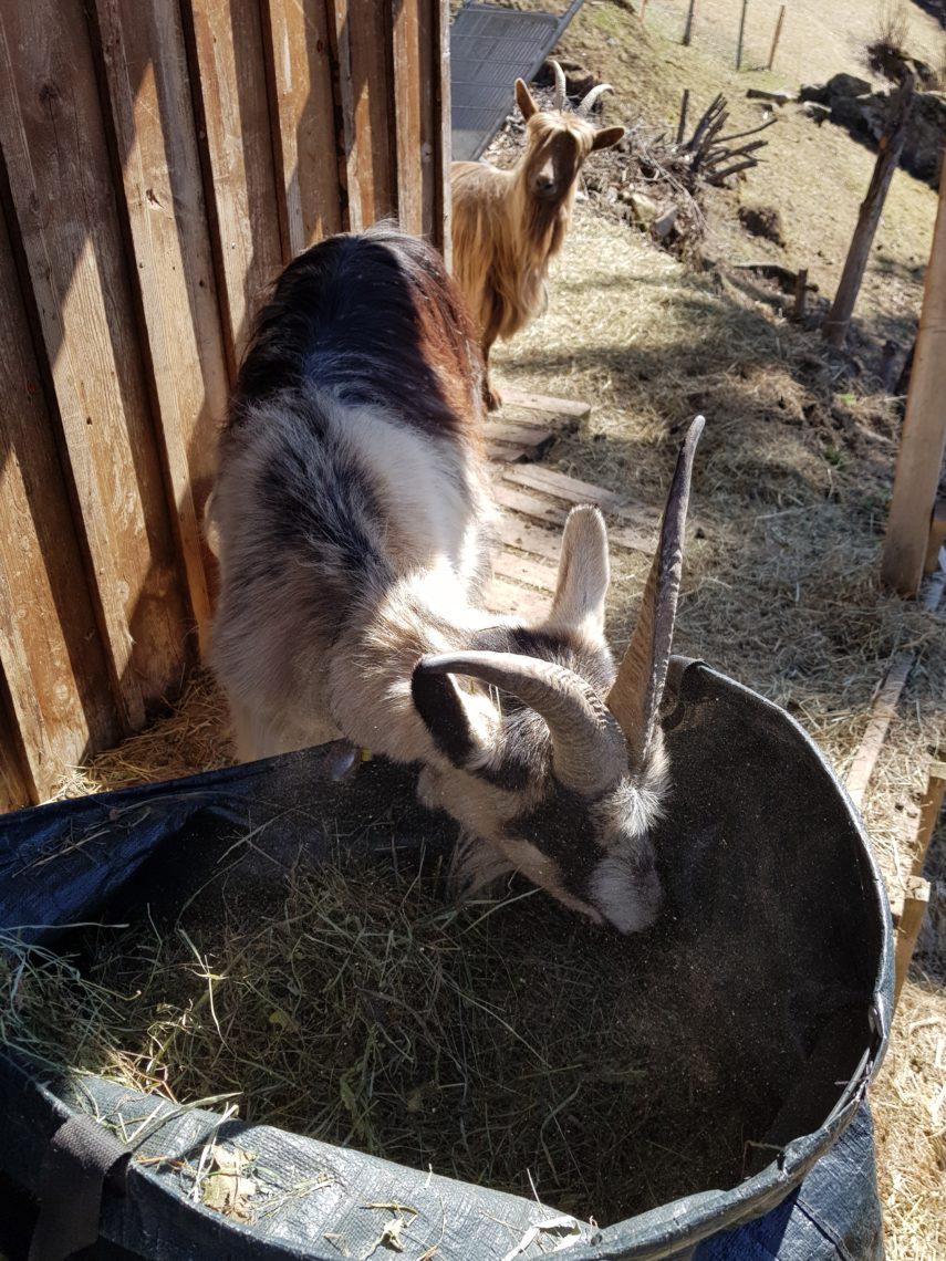 Ziege am Fressen - Shavina, Auszeit mit Tieren